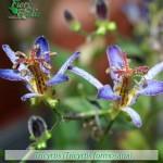 fiori_gallery_tricyrtis
