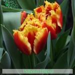 fiori_gallery_tulipani