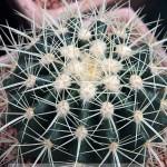 echinocactus_grisonii