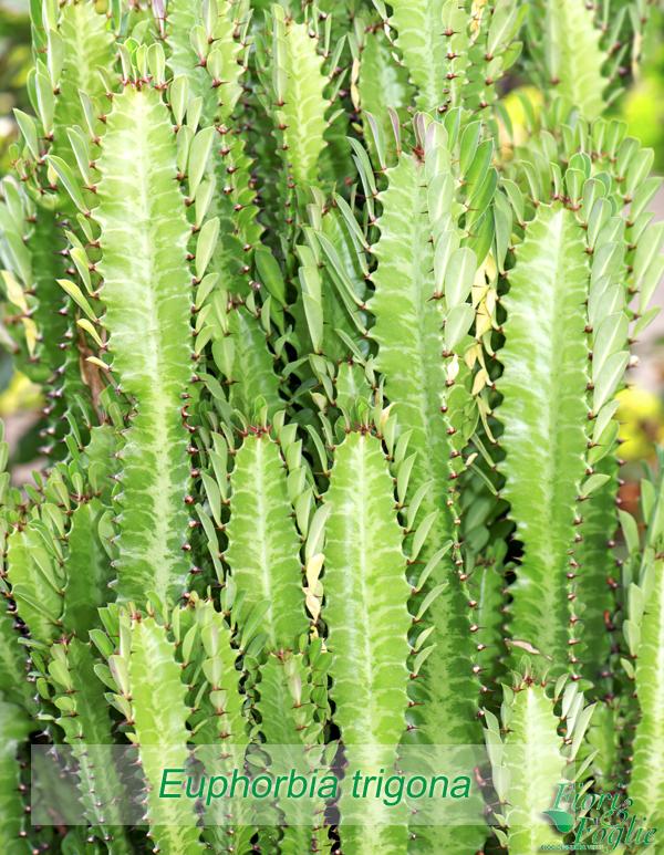 Piante grasse succulente e cactus diamogli un nome for Pianta cactus