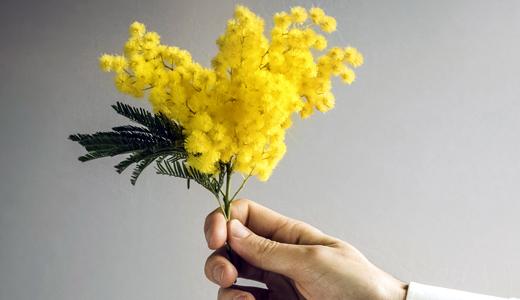 mimosa_donna520