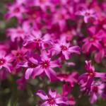 phlox_pinkmoss8