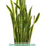 sanseveria_trifasciata