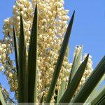 yucca_gloriosa