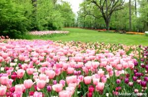 messer_tulipano520