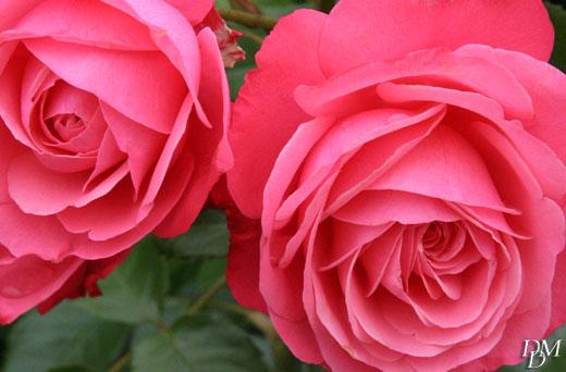 rose520
