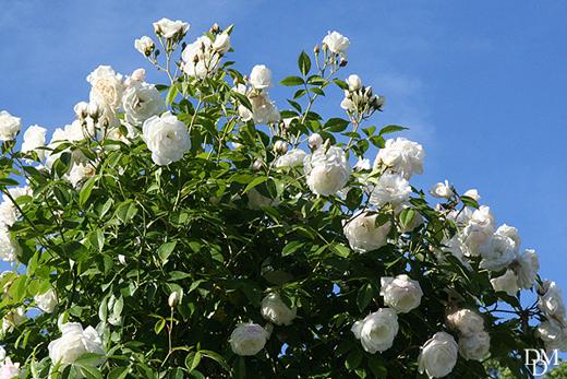 Con la rosa iceberg 39 un arco di fiori bianchi come la for Nomi di fiori bianchi profumati