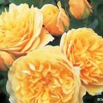 rosa_graham_thomas520