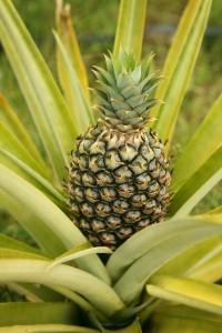 ananas_pianta400