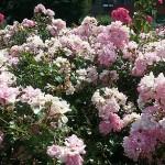 rose_cassa520