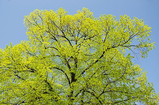 La forma degli alberi e 39 la punta che decide fiori e foglie for Chioma albero
