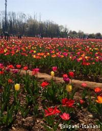 Aperti i campi di tulipani a due passi da milano ce la for Tulipani italiani