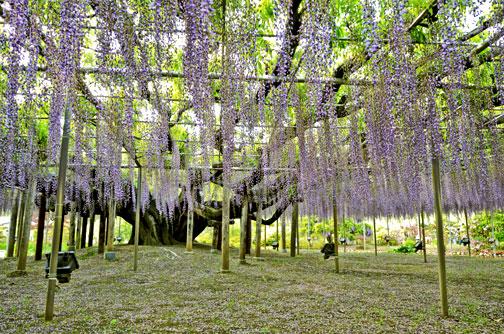 Come si crea un albero di glicine in giardino fiori e - Albero da giardino ...