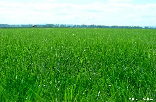 La ricetta del prato perfetto erba alta e meno acqua for Quando concimare il prato