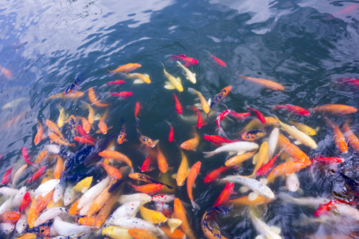 Pesci rossi in inverno questione di razza fiori e foglie for Pesci rossi carpe