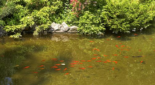 Pesci rossi in inverno questione di razza fiori e foglie for Pesce rosso razza