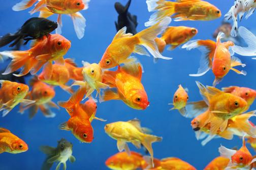 Fiori foglie il blog su fiori e piante di tgcom24 for Dove comprare pesci rossi
