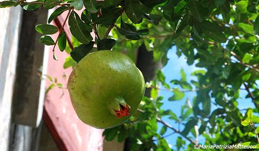 Vivaio Rosso Melograno : Pianta di melograno albero vaso vivaio santa bernadetta