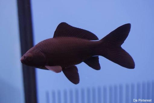 Vasca Da Esterno Pesci : Per il laghetto in giardino arrivano i pesci rossi tuttiu neri