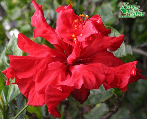 Ibisco (Hibiscus rosa-sinensis)