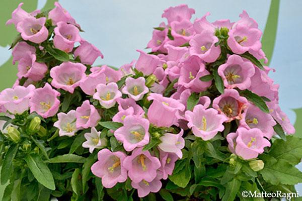 Campanula Appeal Pink F1