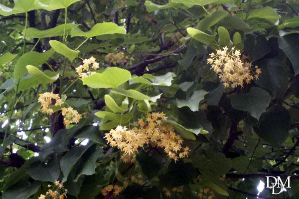 Giugno il momento del tiglio indimenticabile albero - Fiori gialli profumati ...