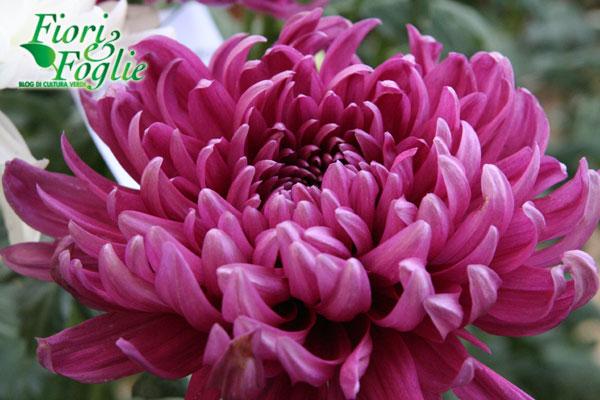 crisantemi4