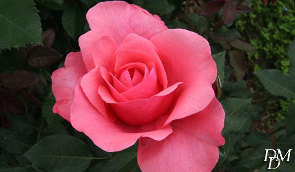 1 Premio Rose da taglio - Poulsen Roser (Danimarca)