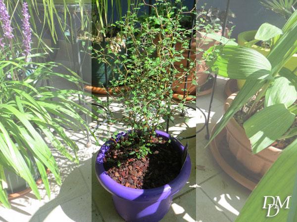 Sophora 'Little Baby'