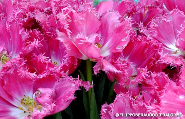 tulipani_pralormo7