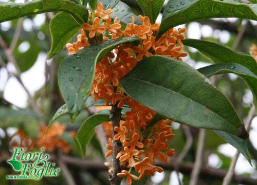 Olea fragrans fiori e foglie - Osmanthus siepe ...