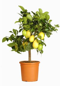 Fotografia alberello di limone