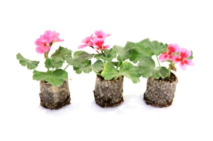 salviamo i gerani dal gelo dell 39 inverno fiori e foglie