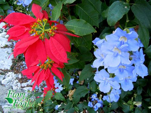 Superb Fiori Di Stella Natalizia Con A Fianco I Grappoli Dellu0027azzurrissima  Rampicante Thunbergia Grandiflora