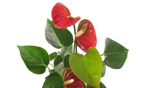 E\u0027 sicuramente tra le piante più regalate durante le feste stiamo parlando  dell\u0027Anthurium (o Anturio), dagli splendidi \u201cfiori\u201d che sembrano laccati.