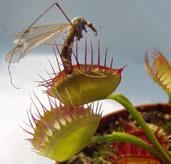 Scoperta la pianta carnivora che mangia i vermi fiori e for Pianta carnivora dionea