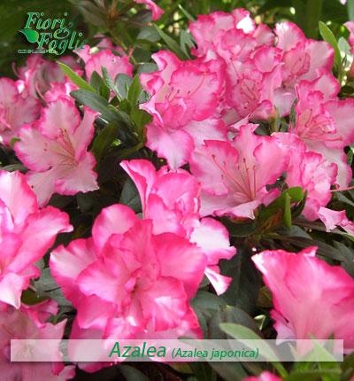 Come si chiama diamo un nome a fiori e piante fiori e for Piante di fiori perenni