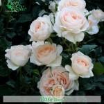 fiore bianco simile alla rosa