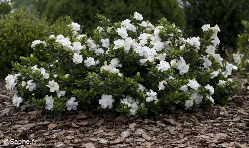 Arriva la gardenia che resiste fuori al gelo fiori e foglie - Gardenia pianta da giardino ...