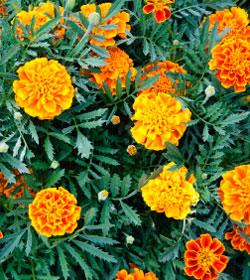 Guida al giardinaggio e all 39 orto olimpico fiori e foglie - Guida giardinaggio ...