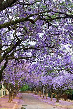 alberi fioritura estiva