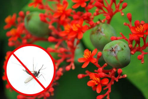 jatropha zanzare500 Saggezza indiana confermata: lolio di Jatropha allontana le zanzare