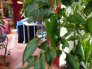 Storie da un terrazzo le piante di peperone le porto in for Salotto da terrazzo