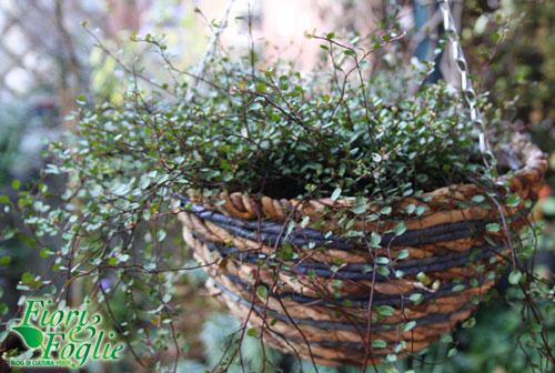 Una ricadente in miniatura per un balcone verde anche d for Piante ricadenti da esterno perenni