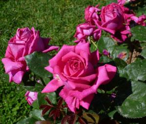 rosa barni Monza, Concorso della Rosa: è italiana la più bella rosa a mazzi dellanno